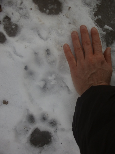 mountain lion tracks in snow, Mt. Nittany, next to hand for comparison